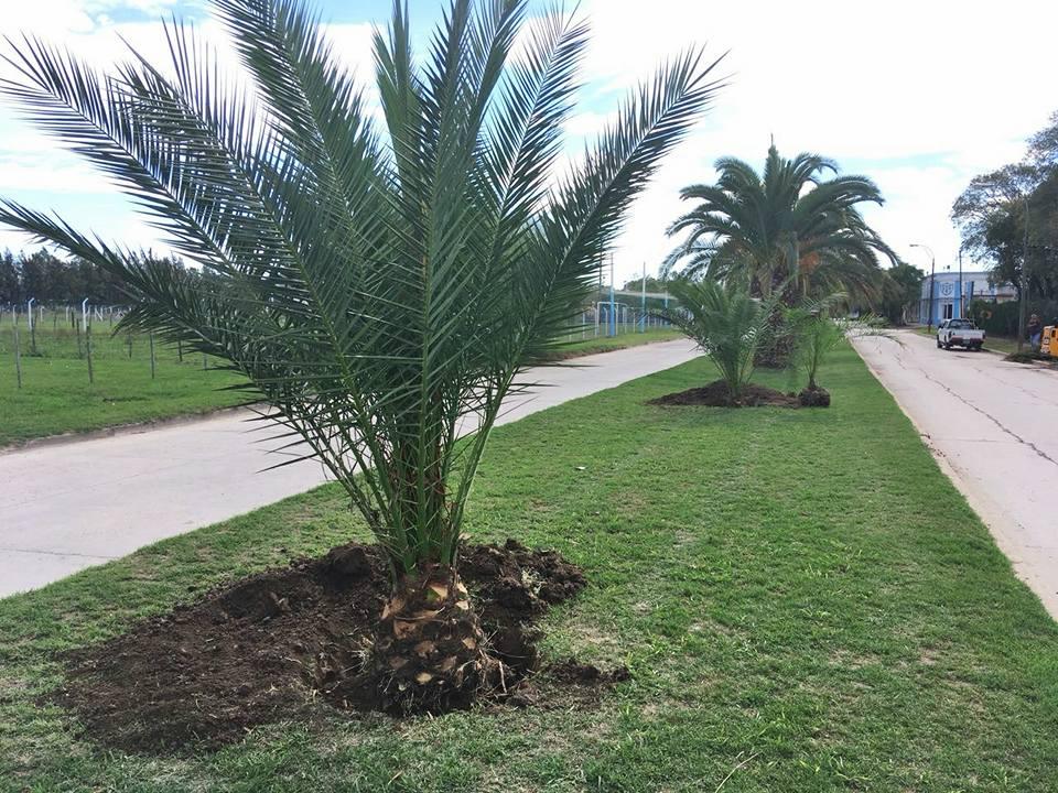 En el marco de la renovación de los alambrados perimetrales del estadio Enrique Fitte, la Dirección de Espacios Verdes de la Municipalidad realizó el trasplante de cuatro palmeras phoenix canariensis que habían crecido de modo silvestre junto al cerco.