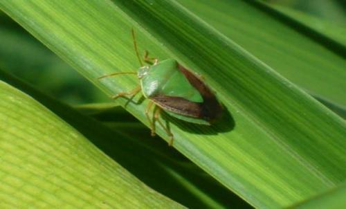 Protección contra enfermedades foliares e insectos en soja